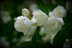 1-IMGP8709 (PahaKoz) Tags: лето природа растение куст цветы цветение жасмин summer nature plant bush flowers blossom bloom blossoming jasmine jasmin jessamine дождь капли капля rain raindrops drops water waterdrops