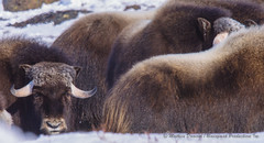 Happy Canada Day-000637 (Mathieu Dumond) Tags: inexplore canadaday nunavut mathieudumond umingmakproductions muskox muskoxen wildlife arctic ursamini 4k filming may