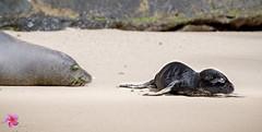 Every time Rocky's pup inched closer to the ocean mama was right behind. (William Parenio) Tags: babymonkseal hawaiianmonkseal kaimanabeach monkseal monksealpup monksealrh58 monksealrocky nature oahu hawaii hawaiianisland