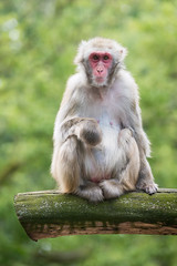 2017-07-02-14h47m48.BL7R2932 (A.J. Haverkamp) Tags: canonef100400mmf4556lisiiusmlens amsterdam noordholland netherlands zoo dierentuin httpwwwartisnl artis thenetherlands japansemakaak japanesemacaque nl