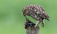 Messy Eater (irelaia) Tags: little owl mouse messy eater post wild bird hide