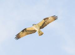 5 foot Wing Span. (Omygodtom) Tags: wildlife wild bird osprey tamron90mm natural nikkor nature nikon flickr d7100 bnw blur outdoors outside digital bokeh