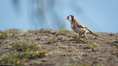Goldfinch - Carduelis carduelis (Putter of distelvink - NL) (eParanoia) Tags: kalmthout vlaanderen belgium be