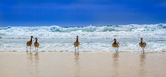Walk This Way (Amazing Aperture Photography) Tags: animal wildlife nature birds sandpiper sandiego california shoreline coast westcoast seascape blue sonya6000