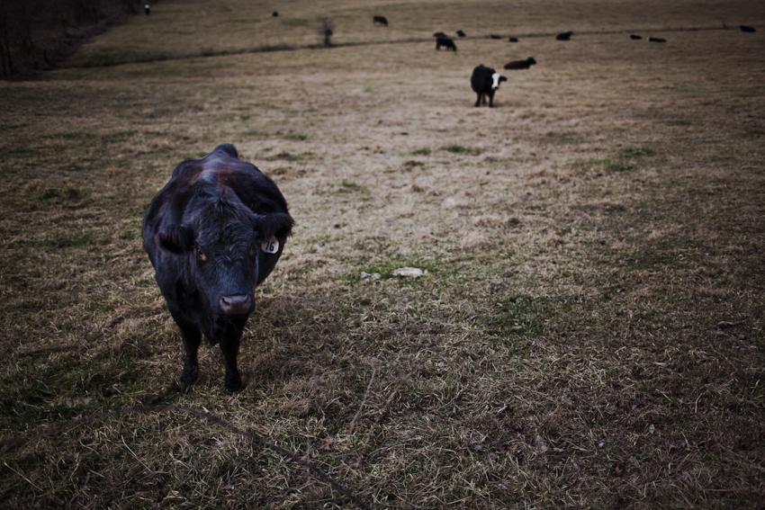 Farm animals in Missouri