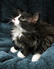 Hi-Top in Profile, a Beautiful Girl Tuxedo Kitten, Long Hair, Smudge Nose, White Mittens and Black Mask (Pixel Packing Mama) Tags: cute lovely1 catalog awww catsandkittensset omg gatinhas catlovers heartlandhumanesociety catpix pixelpackingmama catssmalltobig dorothydelinaporter worldsfavorite catsarecool views25pool montanathecat~fanclub 25views50pool reallyunlimited spcacatspool ceruleanthecat~fanclub catsinprofile blackmaskkittycatspool tuxedocatspool 2550viewspostupto5perdaypool tuxedokittiespool justmoggiespool catcatscatz beautifulcatspool allcatsallowedpool furrycatfriendspool petsinprofilepool furryfuncutefunnyanimalspool picturepurrfektkittiespool maskedblackcatspool catsandkittygatos catsandorkittenonly kittycatpeople4peoplewhoaremadaboutcatspool views2650pool animalbabiespool babyanimalspool 50plusphotographersaged50andbetterpool furrificcatspool blackandwhiteanimalsbirdsetcpool blackandwhitewhiteandblackwpool kittenswithmittenspool favoritedpixfirsthalfof2010set loveofthefelinecommenttheshotpool favup010210 pixuploadedfirsthalfof2010set catslonghaircats~ catsrulersoftheworldcatsrockpool 15favwhenthereisroom catskittensstartingjanuary12009set pixtakeninfirsthalfof2010set picturestakenwithcanonpowershota2000isin2010set pixelpackingmama~prayforkyronhorman photosfrom20102020pool oversixmillionaggregateviews over430000photostreamviews