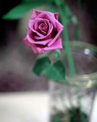 [フリー画像] [花/フラワー] [薔薇/バラ] [ピンク/花]        [フリー素材]