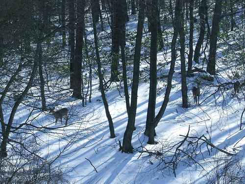 three deer in snowy woods 2