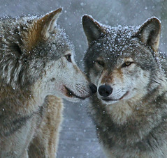 Winter Wolves (Gary Wilson แกรี่ วิลสัน) Tags: ireland dublin nature animal canon photography eos grey zoo photo wolf foto wildlife gray canine 7d lobo lupus wolves greywolf canis dublinzoo canid 100400l graywolves garywilson