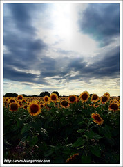Fight for the Light / Harc a fényért (FuNS0f7) Tags: summer hungary sunflower szolnok sonycybershotdscf828 the4elements cloudslightningstorms alcsisziget
