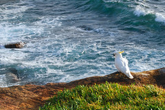 The Coogee Cockatoo (Atilla2008) Tags: morning cliff beach surf walk sydney cocky cockatoo dontdoit coogee coogeebeach mygearandmepremium mygearandmebronze mygearandmesilver mygearandmegold mygearandmeplatinum