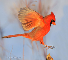Northern Cardinal At Sunset About To Land! (JRIDLEY1) Tags: red wings nikon cardinal michigan northerncardinal malenortherncardinal brightonmichigan theunforgettablepictures jridley1 jimridley dailynaturetnc09 cardinalflying httpjimridleyzenfoliocom photocontesttnc10 lifetnc10 jimridleyphotography photocontesttnc11 photocontesttnc12
