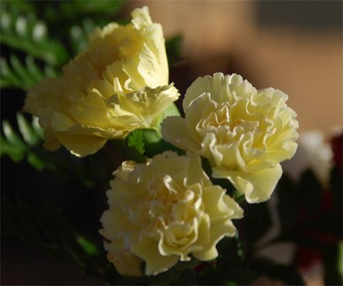 Yellow-Carnation