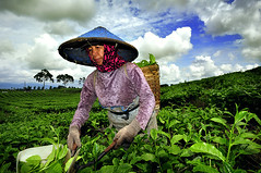 The Tea Picker ( DocBudie) Tags: green indonesia fresh humanitarian teaplantation humaninterest humanist laketoba teapicker northsumatra sumaterautara simalungun pemetikteh kebuntehsidamanik ptpniv tehsidamanik theteaplantationofsidamanik humantnature