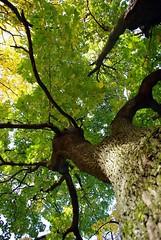 Klevas (Zitute) Tags: gamta medis medžiai gėlės klevas