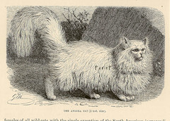 1894 Royal Natural History 'Angora Cat'