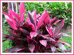 Cordyline terminalis/C. fruticosa or Ti Plant, Hawaiian Ti, Good Luck Plant - (hot pink/purplish maroon)
