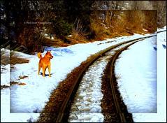 Max Explores the D&SNG tracks! (mountainbeliever) Tags: old pets dogs animals landscapes scenery silverton traintracks trains views narrow durango picnik mydog railroads narrowgauge dsng ilovedogs alldogs durangosilvertontrain coloradosnow coloradodogs coloradotrains steamenginetracks reddoorfotographie