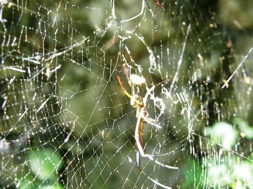 tela con araña
