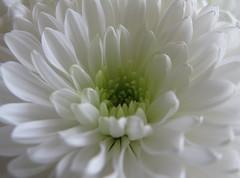 juSt whiTe (QuakaJaQ) Tags: white flower macro canon petals powershot pure birthdayflowers g9 diamondclassphotographer flickrdiamond dream0n