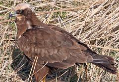 Marsh Harrier (timz501) Tags: bird jersey circusaeruginosus marshharrier