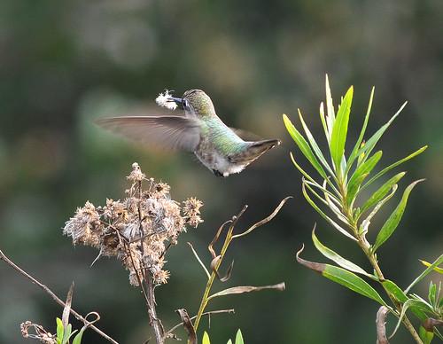 Hummingbird (Anna's?)