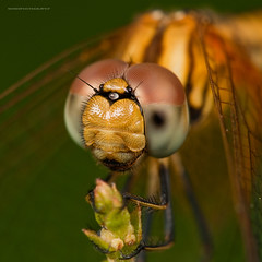at rest (nonoiphotography (post and run mode)) Tags: macro nature insect nikon singapore dragonfly kirk botanicgardens d300 dcr250 raynox r1c1 sb200 diydiffuser 105vrmicro macrolife macroflashbracket