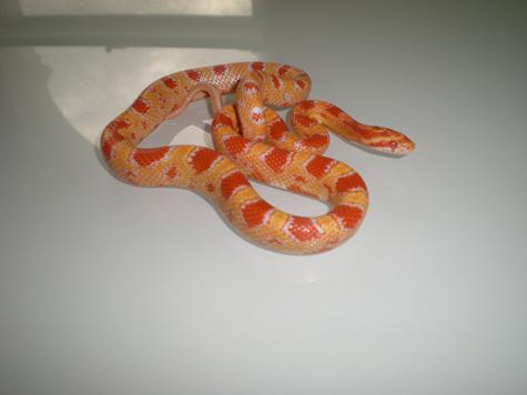 Fluorescent Orange Corn Snake SE England Fluorescent...