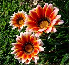 one... two...three flowers (AvQuu) Tags: flowers flores macro nature fleurs natureza he distillery soe naturesfinest otw gaznia topshots masterphotos worldbest anawesomeshot magicalbeauty flickrdiamond flowersarebeautiful theunforgettablepictures concordians macromarvels goldstaraward flickrestrellas excellentsflowers natureselegantshots mimamorflowers awesomeblossoms vosplusbellesphotos flickrflorescloseupmacros paololivornosfriends panoramafotogrfico saariysqualitypictures flowerparadise fleursetpaysages theoriginalgoldseal virgiliocompany miracleofnatur flickrsportal