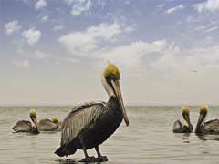 The Pelican Five (buckchristensen) Tags: ocean sea portrait bird pelicans birds photography texas wildlife pelican southpadreisland canonsx10is