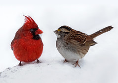 Forbidden Love (crabsandbeer (Kevin Moore)) Tags: winter snow birds cardinal baltimore sparrow blizzard 2010