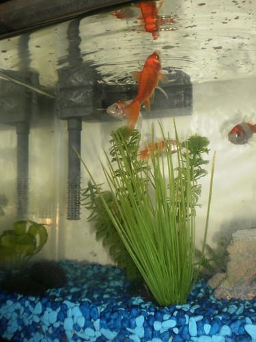 Goldfish (2)