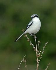 Loggerhead Shrike (Lanius ludovicianus) (Frank Shufelt) Tags: florida northamerica waterbirds loggerheadshrike grebes laniusludovicianus hendrycounty okaloacoocheesloughstateforest