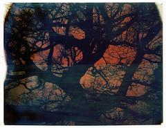 Pola Tree Sillana III (Andrea Buzzichelli (aka Joseph Pane)) Tags: tree polaroid expired albero pola expiredfilm 669 669film autaut roccasillana andreabuzzichelli wwwandreabuzzichelliit polaroidlandcameramod103