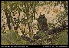 Short-eared Owl (M V Shreeram) Tags: india bird nature birds canon wildlife aves ave gujarat avifauna strigidae shortearedowl asioflammeus 300mmf4is 40d littlerannofkutch