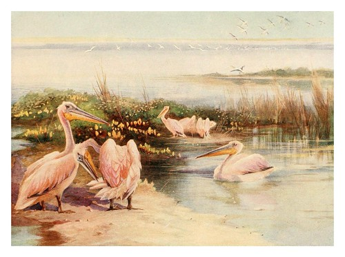 021-Pelicanos blancos-Egyptian birds for the most part seen in the Nile Valley (1909)- Charles Whymper