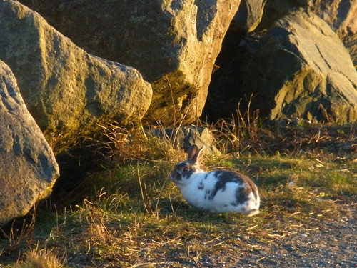 Wild rabbit on Newcastle beach
