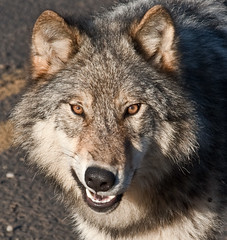 Grey Wolf Snarl (SorenHedberg) Tags: nature face america grey eyes wolf wildlife teeth north columbia british growl snarl