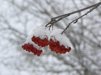 neige sur baies.jpg