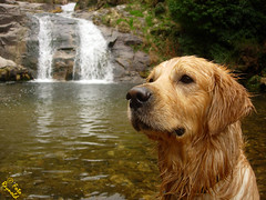 Pato en cuerpo de perro / A duck in a dog body (Foto Reynold) Tags: espaa dog fall ro river golden spain agua perro pato retreiver thor cascada poza fervenza mougs dognationalities