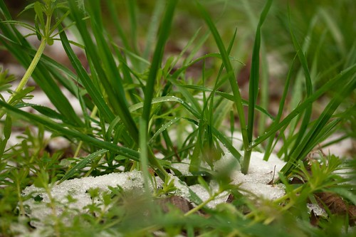 Snow in the Grass