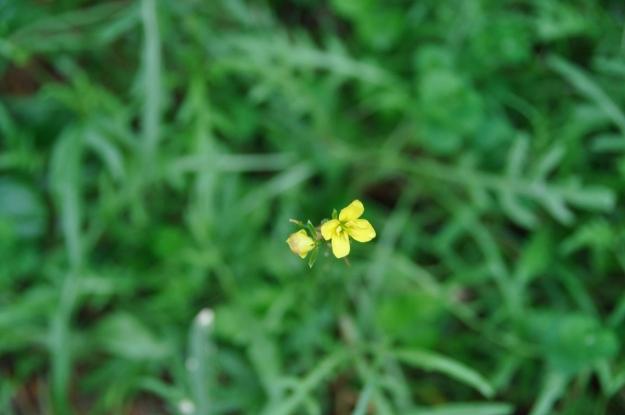 rocket flower