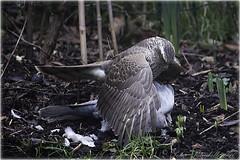 """Sparrow Hawk mantling over prey! (lightpainter_album) Tags: birds is hawk """"bird mantling """"canon prey"""" lens"""" 55250 """"efs hawk"""" 40d"""" sparrowhawkmantling """"sparrow"""