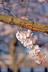 Blossoming (W.D. Vanlue) Tags: pink flower tree oregon portland cherry spring or bloom cherryblossom flowering pdx portlandor portlandoregon blooming blosom