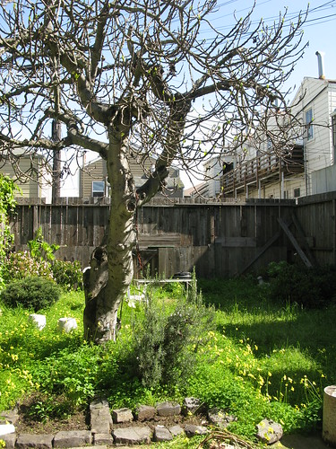 Our San Francisco backyard, the fig tree is bare