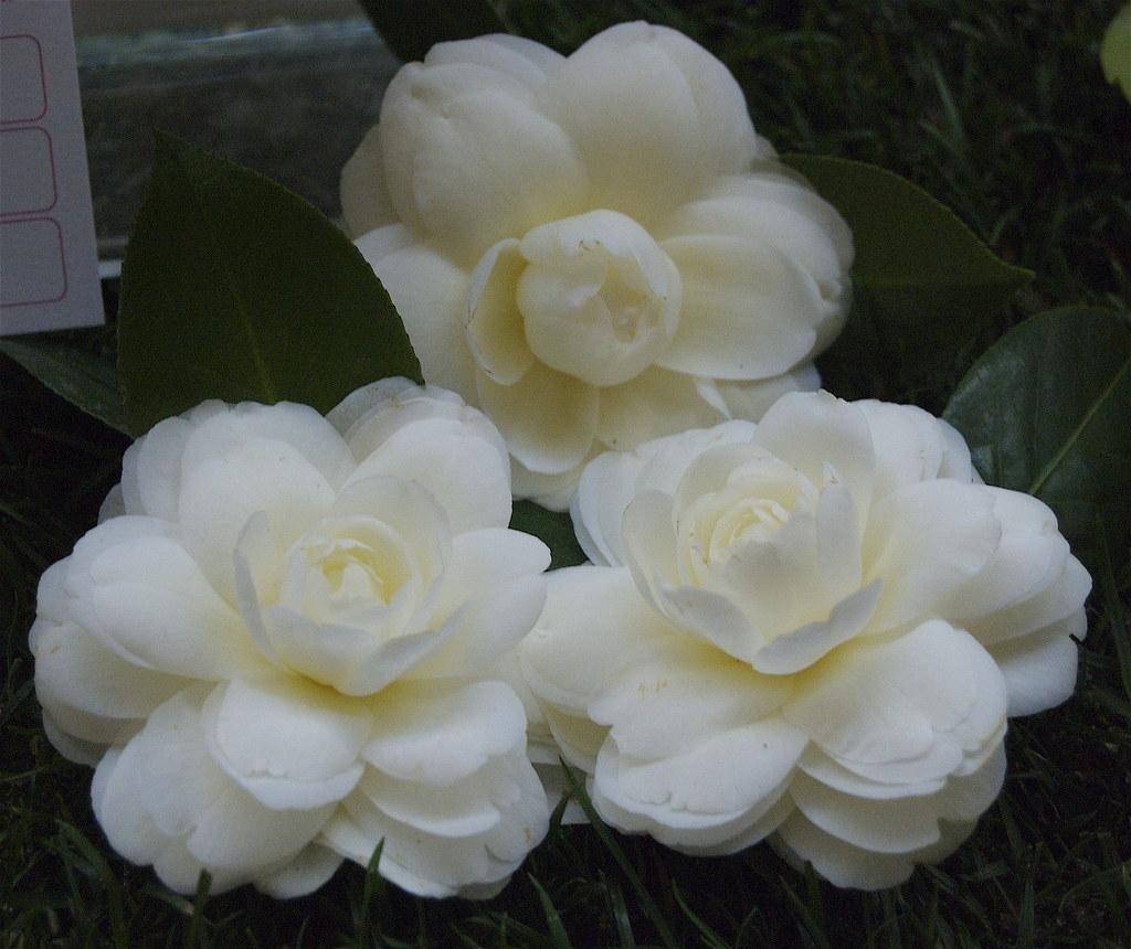 Camélias - Exposição - Dahlonega (USA) - Melhor Camellia japonica