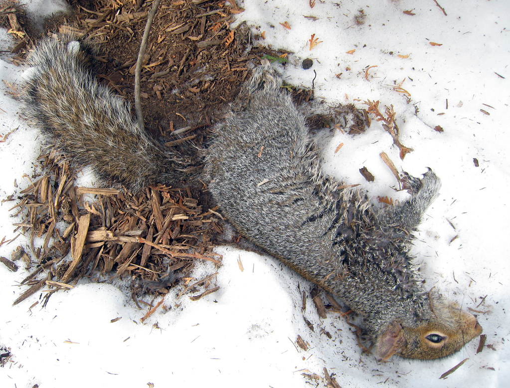 dead squirrel in pool - photo #18