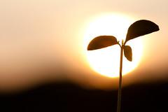 [フリー画像] [植物] [芽] [夕日/夕焼け/夕暮れ]        [フリー素材]