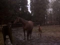 Brandy New Foal . Day 88 (JARM13) Tags: horses buckscounty foal mareandfoal wintercycling floodsandhorses
