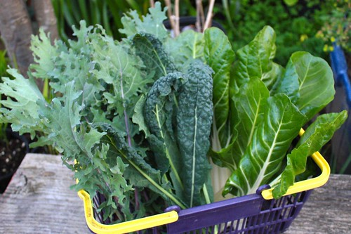 Harvested Kale & Swiss Chard